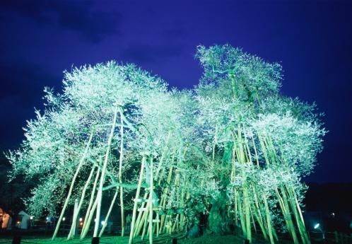 夜桜「Kubo Sakura in Yamagata Prefecture, Japan」:スマホ壁紙(2)