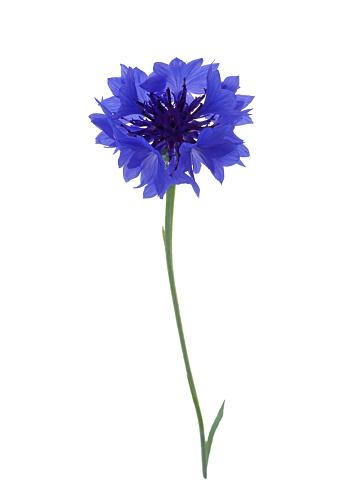 Single Object「Dainty blue cornflower on white.」:スマホ壁紙(11)