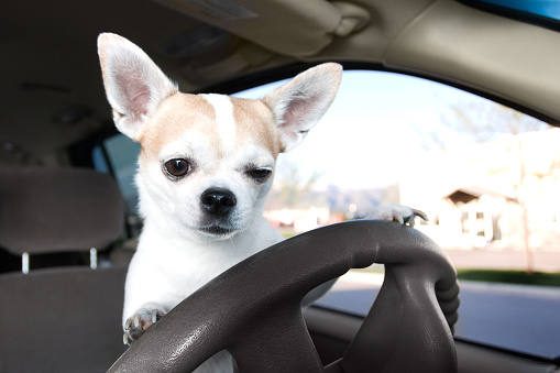 Motorsport「White and tan Chihuahua on the car driver's steering wheel」:スマホ壁紙(4)