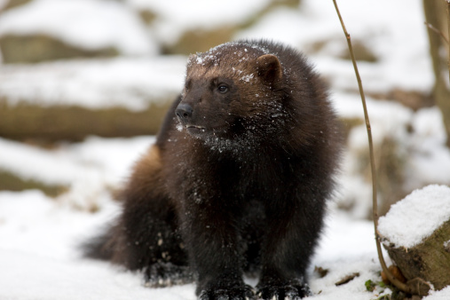 Crouching「Wolverine (G. gulo) in snow」:スマホ壁紙(9)