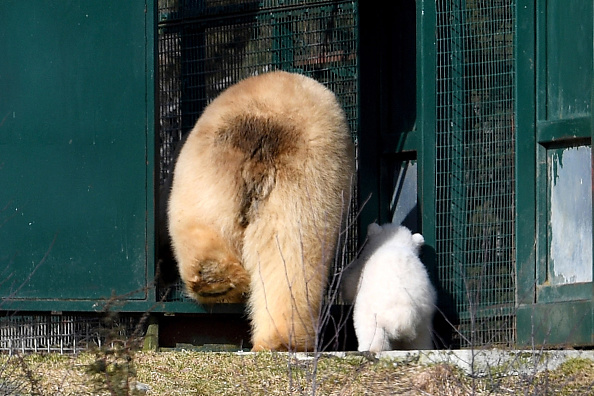 Polar Bear「First Polar Bear Born In The UK For 25 Years」:写真・画像(6)[壁紙.com]