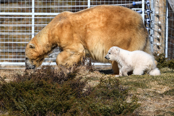 Polar Bear「First Polar Bear Born In The UK For 25 Years」:写真・画像(15)[壁紙.com]