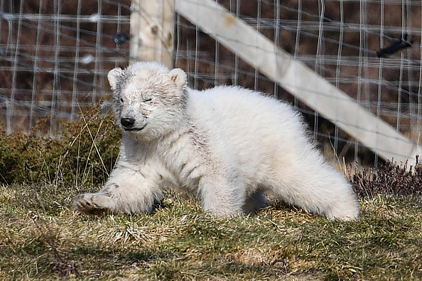 Polar Bear「First Polar Bear Born In The UK For 25 Years」:写真・画像(0)[壁紙.com]