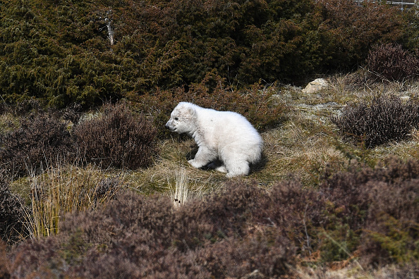 動物「First Polar Bear Born In The UK For 25 Years」:写真・画像(2)[壁紙.com]