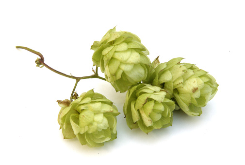 Crop - Plant「Golden hops」:スマホ壁紙(14)