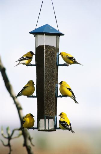 Bird Seed「Goldfinches on Feeder」:スマホ壁紙(9)