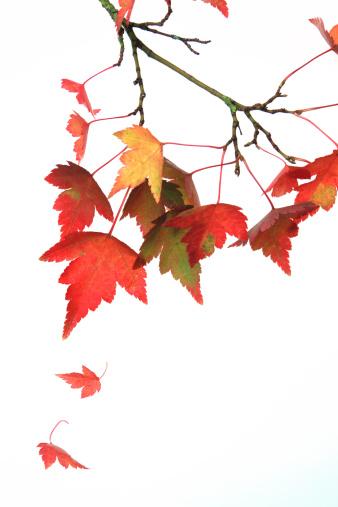 紅葉「Autumn acer leaves」:スマホ壁紙(1)