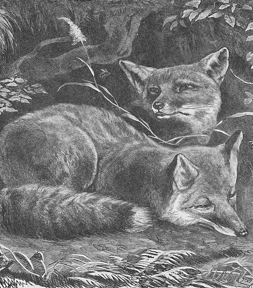 20th Century「The Fox At Home Circa 1900」:写真・画像(18)[壁紙.com]