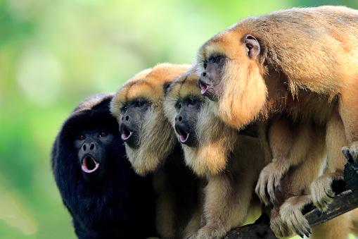Animal Call「Black Howler Monkey, (Alouatta caraya)」:スマホ壁紙(16)