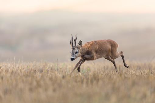 Rutting「Roe Deer (Capreolus capreolus)」:スマホ壁紙(14)