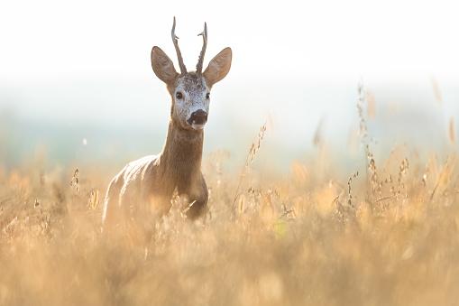 Rutting「Roe Deer (Capreolus capreolus)」:スマホ壁紙(17)