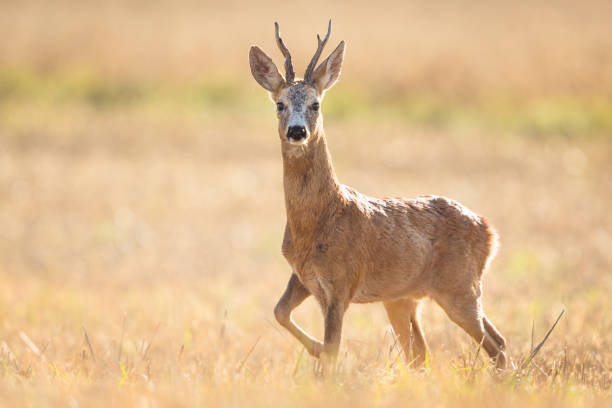 Roe Deer (Capreolus capreolus):スマホ壁紙(壁紙.com)