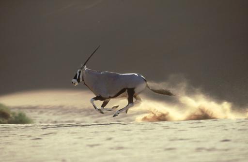 Gemsbok「gemsbok in flight: oryx gazella  central namib desert  namib ia」:スマホ壁紙(18)