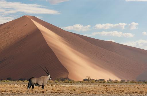 Gemsbok「Gemsbok (Oryix Gazella) in the Namib Desert.」:スマホ壁紙(12)