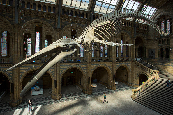Natural History Museum - London「Blue Whale Skeleton Replaces Dippy The Diplodocus At The Natural History Museum」:写真・画像(4)[壁紙.com]