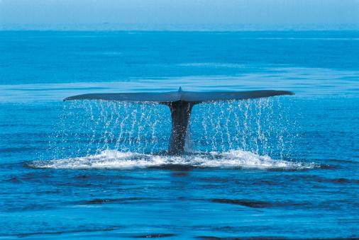 クジラ「Blue Whale (Balaenoptera musculus) Mexico」:スマホ壁紙(12)
