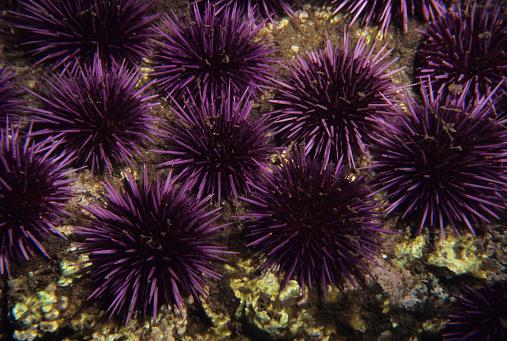 Ecosystem「Purple Sea Urchins」:スマホ壁紙(5)