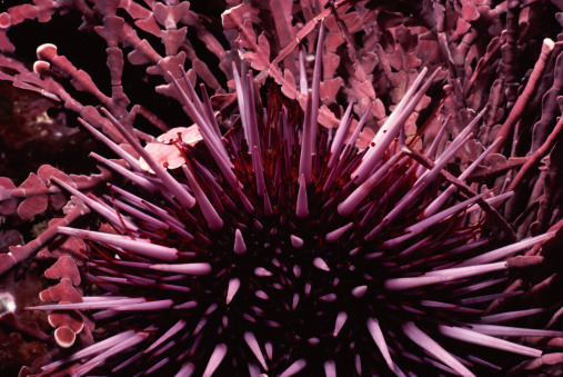 サンゴ「Purple Sea Urchin」:スマホ壁紙(4)