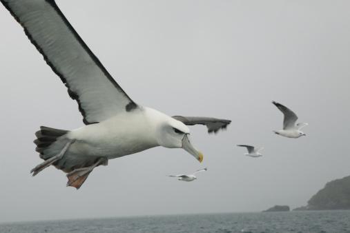 Albatross「Sea bird flying over ocean」:スマホ壁紙(19)