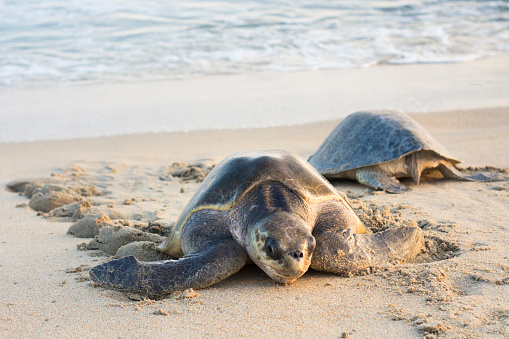 Crawling「Two Olive Ridley Sea Turtles coming and going in Oaxaca, Mexico.」:スマホ壁紙(8)