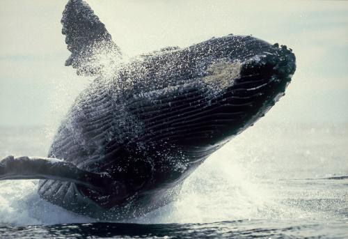 クジラ「Breaching whale」:スマホ壁紙(14)