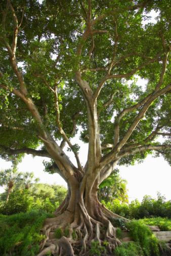 Fig「Gnarled fig tree outdoors」:スマホ壁紙(7)