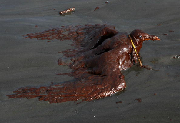 Animal「Gulf Oil Spill Spreads, Damaging Economies, Nature, And Way Of Life」:写真・画像(8)[壁紙.com]