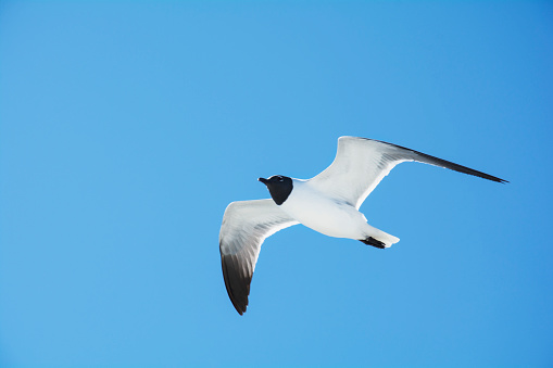 Glider「Laughing Gull in flight」:スマホ壁紙(11)