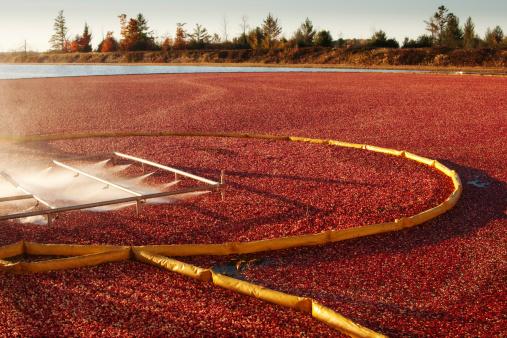 Spraying「Cranberry Farm Harvesting for Thanksgiving Hz」:スマホ壁紙(5)