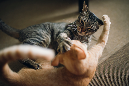 Kitten「Two tabby cats play fighting in appartment」:スマホ壁紙(10)