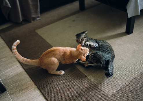 Kitten「Two tabby cats play fighting in appartment」:スマホ壁紙(0)