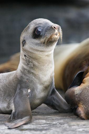 Sea Lion「Four Day Old Galapagos Sea Lion Pup」:スマホ壁紙(19)