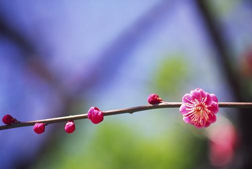 梅の花「レッド梅の花」:スマホ壁紙(10)