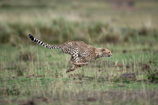 Baby animal「Adolescent Cheetah cub running in Masai Mara National Reserve」:スマホ壁紙(5)