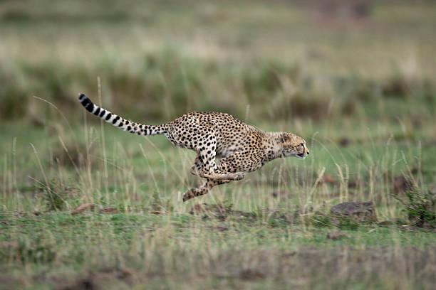 Adolescent Cheetah cub running in Masai Mara National Reserve:スマホ壁紙(壁紙.com)