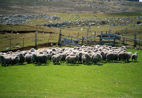 Port Stanley - Falkland Islands「Corral of sheep, Port Stanley, Falkland Islands, UK」:スマホ壁紙(8)