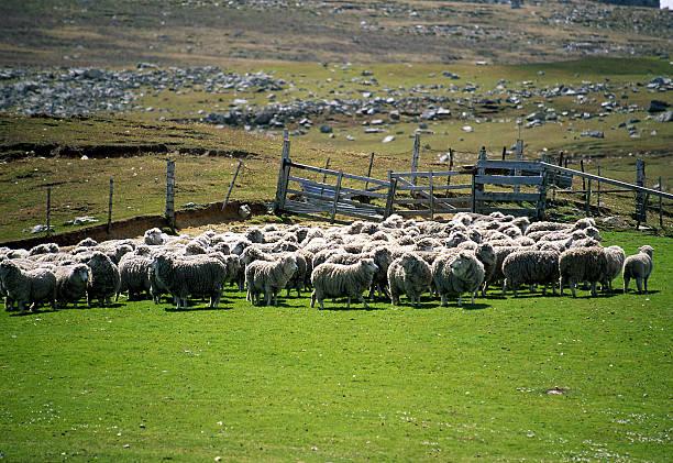 Corral of sheep, Port Stanley, Falkland Islands, UK:スマホ壁紙(壁紙.com)