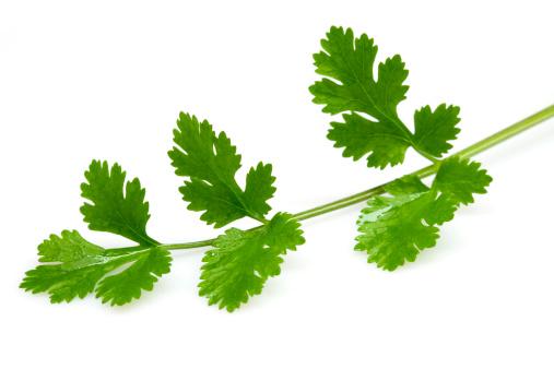 Cilantro「Fresh coriander leaves」:スマホ壁紙(9)