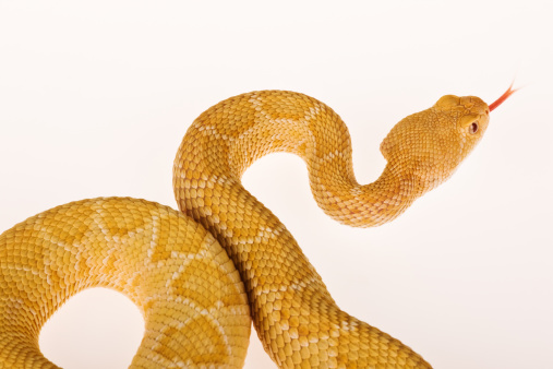 Waist Up「Albino Western diamondback rattlesnake.」:スマホ壁紙(11)