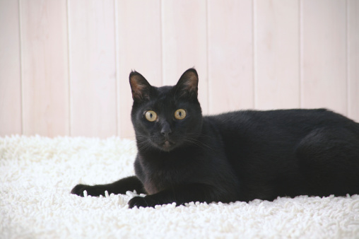 Mixed-Breed Cat「Black cat looking at camera」:スマホ壁紙(4)