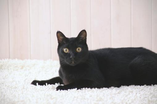Mixed-Breed Cat「Black cat looking at camera」:スマホ壁紙(0)