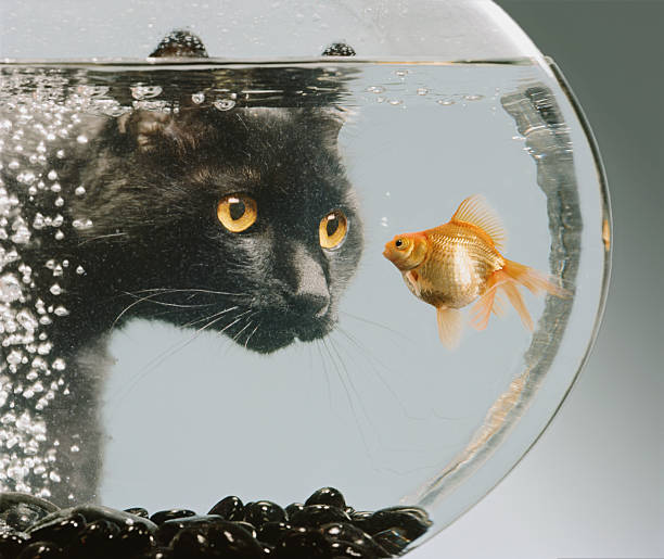 Black cat looking at goldfish in bowl:スマホ壁紙(壁紙.com)