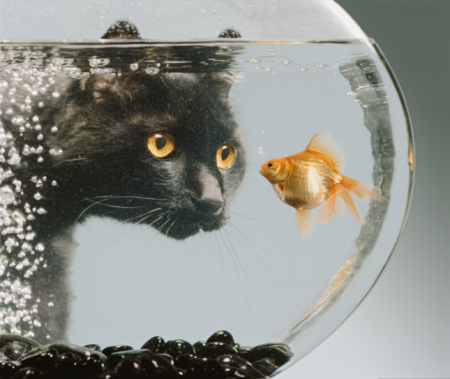 Curiosity「Black cat looking at goldfish in bowl」:スマホ壁紙(5)