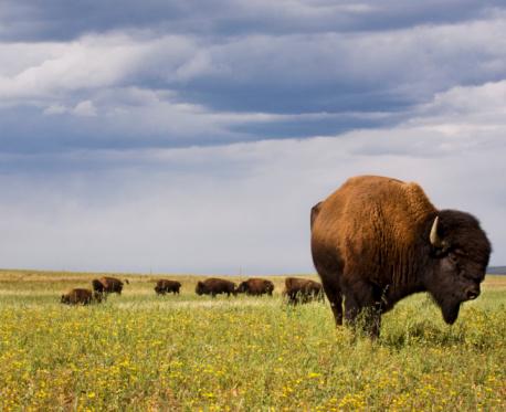 Three Quarter Length「Bison bull grazing in field」:スマホ壁紙(10)
