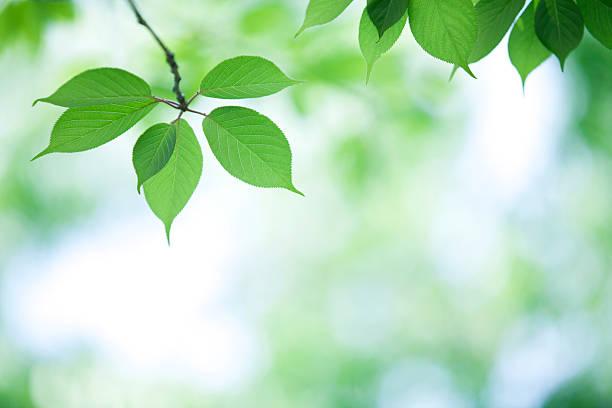 Leaves of Cherry Tree:スマホ壁紙(壁紙.com)