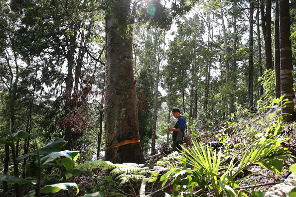 Finance and Economy「Disputed Tree Attacked In Titirangi」:写真・画像(8)[壁紙.com]