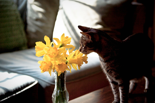 Kitten「Cat Sniffing Daffodils in Vase」:スマホ壁紙(11)