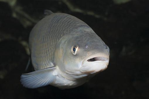 Carp「European Chub, Leuciscus cepahlus, Upper Lusatia, Saxony, Germany」:スマホ壁紙(5)