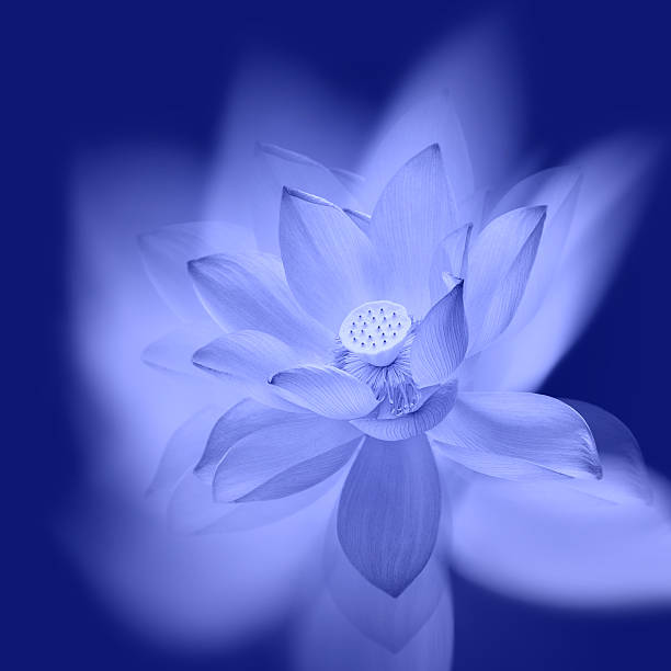 Blooming lotus taken multiple exposure:スマホ壁紙(壁紙.com)