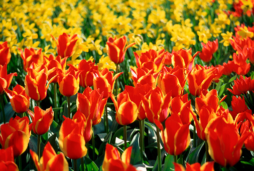 Keukenhof Gardens「Densely Planted Red and Gold Tulips」:スマホ壁紙(9)